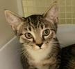 A picture of #ET02465: Cici a Domestic Short Hair gray tabby/white