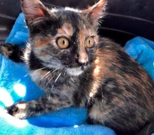 [another picture of Jocile, a Domestic Short Hair tortie\ cat]