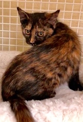 [picture of Jocile, a Domestic Short Hair tortie cat]