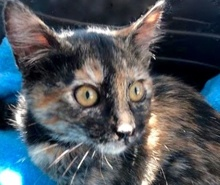 [picture of Jocile, a Domestic Short Hair tortie\ cat]