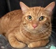 A picture of #ET02468: Frankie a Domestic Short Hair orange