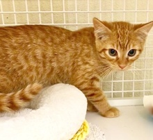 [picture of Frankie, a Domestic Short Hair orange cat]