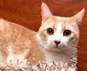 A picture of #ET02469: Clute a Domestic Short Hair ginger/white