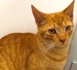 A picture of #ET02470: Miller a Domestic Short Hair orange marble tabby
