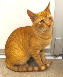 [another picture of Miller, a Domestic Short Hair orange marble tabby\ cat]