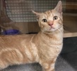 A picture of #ET02471: Coors a Domestic Short Hair orange tabby