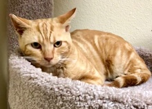 [another picture of Coors, a Domestic Short Hair orange tabby\ cat]