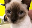 A picture of #ET02472: Modela a Siamese chocolate point