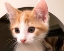 A picture of #ET02473: Odie a Domestic Short Hair orange/white