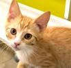 A picture of #ET02474: Garfi a Domestic Short Hair orange/white