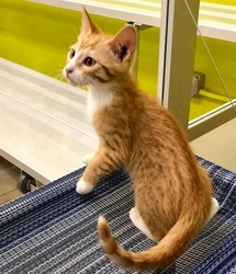 [picture of Garfi, a Domestic Short Hair orange/white cat]
