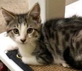 A picture of #ET02475: Syler a Domestic Short Hair black/whie