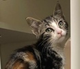A picture of #ET02476: Syla a Domestic Short Hair marble calico