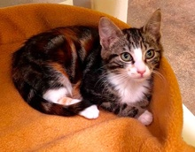 [picture of Syla, a Domestic Short Hair marble calico cat]