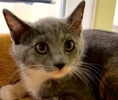 A picture of #ET02477: Sylona a Domestic Short Hair dilute calico