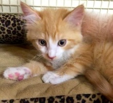 [another picture of Shafer, a Ragdoll Mix orange/white\ cat]