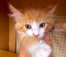 [picture of Shafer, a Ragdoll Mix orange/white\ cat]