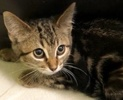 A picture of #ET02480: Gabriela a Domestic Short Hair gray marble tabby