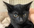 [picture of Constantine, a Domestic Medium Hair black cat]