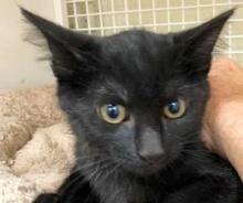 [picture of Constantine, a Domestic Medium Hair black\ cat]