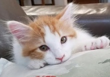[picture of Turmeric, a Domestic Medium Hair orange/white\ cat]