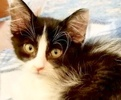 A picture of #ET02484: Cardamon a Domestic Medium Hair white/black