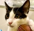 A picture of #ET02486: Pepper a Domestic Medium Hair white/black