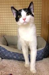 [picture of Pepper, a Domestic Medium Hair white/black cat]