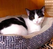 [picture of Pepper, a Domestic Medium Hair white/black\ cat]