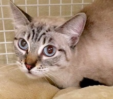 [picture of Asana, a Siamese lynxpoint\ cat]