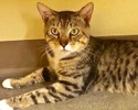 A picture of #ET02488: Sarape a Domestic Short Hair brown tabby/white