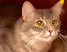 [picture of Opaline, a Maine Coon-x silver\ cat]