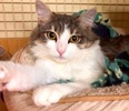 A picture of #ET02490: Zilarra a Domestic Medium Hair blue/white