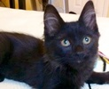A picture of #ET02491: George Cloney a Maine Coon-x black