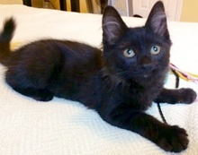 [another picture of George Cloney, a Domestic Long Hair black\ cat]