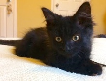 [picture of George Cloney, a Domestic Long Hair black\ cat]