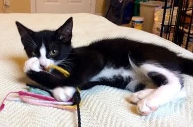 [picture of Leonardo DiCaprio, a Domestic Long Hair black/white cat]