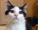 A picture of #ET02493: Frank Sinatra a Maine Coon-x black/white