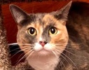 A picture of #ET02494: Callie Mae a Domestic Short Hair dilute calico