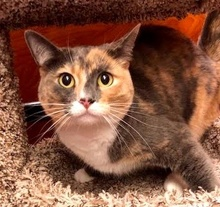 [another picture of Callie Mae, a Domestic Short Hair dilute calico\ cat]