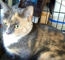 [picture of Callie Mae, a Domestic Short Hair dilute calico\ cat]