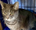 A picture of #ET02495: Maddie a Domestic Short Hair sliver tabby