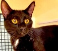 A picture of #ET02496: Stevie Ray a Domestic Short Hair black