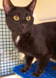 [picture of Stevie Ray, a Domestic Short Hair black cat]
