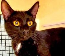 [picture of Stevie Ray, a Domestic Short Hair black\ cat]