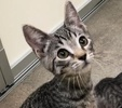 A picture of #ET02497: Salvatore a Domestic Short Hair gray spot