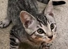 A picture of #ET02498: Timoteo a Domestic Short Hair gray tabby