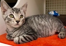 [another picture of Timoteo, a Domestic Short Hair gray tabby\ cat]