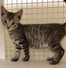 [picture of Timoteo, a Domestic Short Hair gray tabby cat]