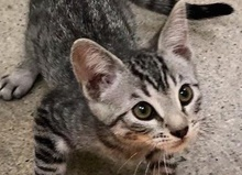[picture of Timoteo, a Domestic Short Hair gray tabby\ cat]